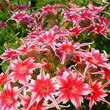 新着ホームガーデン植物20種宿根草TWINKLE STAR、フロックスDrummondii Cuspidata花の種