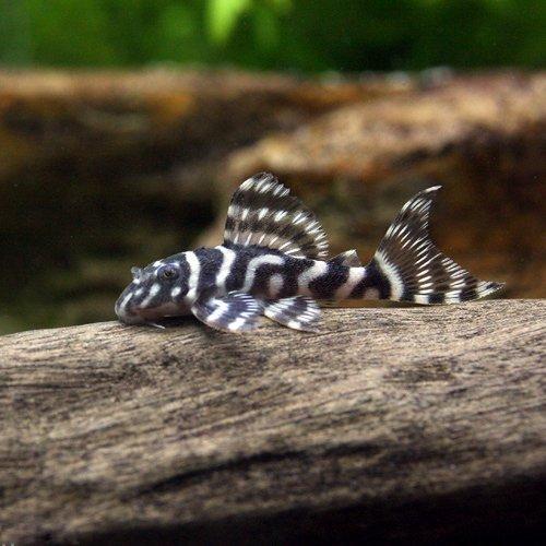 (熱帯魚) キングロイヤル・ペコルティア Sサイズ(ブリード)(1匹) 本州・四国限定[生体]