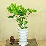 観葉植物:クッカバラ*陶器鉢 受け皿付