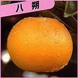 柑橘類の苗木 八朔(ハッサク)
