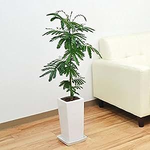 エバーフレッシュ(ネムノキ) スクエア陶器鉢植え 6号