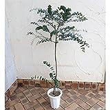 ユーカリ:ベイビーブルー6号ポット[切り花に向く銀色がかった緑の丸葉 矮性種] ノーブランド品