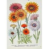 ガザニアの Arctotis 色の芸術の古い印刷物の花の植物