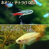(熱帯魚)ネオンテトラ(10匹) +ゴールデンハニーレッド・ドワーフグラミー(2匹) 本州・四国限定[生体]