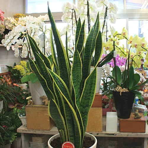 観葉植物 サンスベリア:トラの尾 6号 黒色角プラスチック鉢