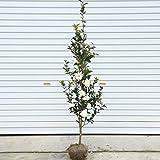 庭木:サザンカ(さざんか)(富士の峰) 樹高:約120cm 全高:約150cm ヤマト便大型商品発送!