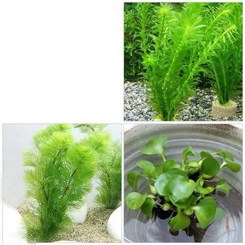 メダカ・金魚藻セット