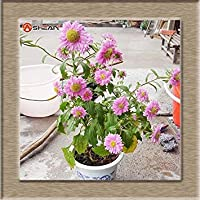 7:9個のカラー対応エゾギク種子バルコニー鉢植え盆栽SEEDシードアスター種子パック/ 100個