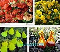 マルチカラー:100個の一般的なCalceolaria種子、花の種、盆栽の花の種、庭の鉢植えの植物Diy