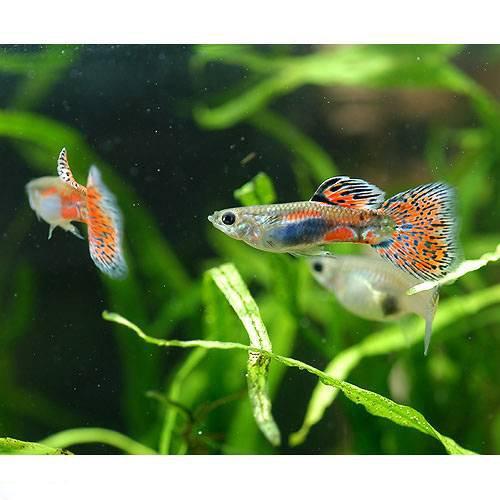 (熱帯魚) レッドグラス・グッピー(国産グッピー)(1ペア) 本州・四国限定[生体]