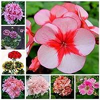 20個盆栽2色ゼラニウム植物多年生花ペラゴニウムペラタム花ゼラニウム鉢植え(天竺桂):混合