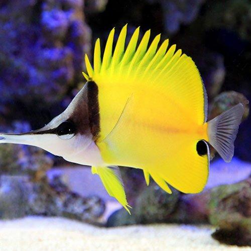 (海水魚)フエヤッコダイ MLサイズ(1匹) チョウチョウウオ 本州・四国限定[生体]