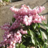 アセビ(馬酔木):クリスマスチアー4.5号ポット[花弁の縁がピンクに染まる美しい品種]