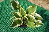 ホスタ アンナ (斑入り ギボウシ) 日陰やワンポイントの植栽に最適♪