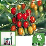 トマトのかんたん栽培セット:アイコ 接木苗 [サカタ交配][トマトの袋栽培セット]