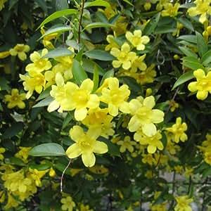 カロライナジャスミン3号ポット2株セット[つる性植物のなかでも人気の植物] ノーブランド品