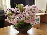 桜の盛り合わせ  桜盆栽