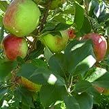 HONEYCRISP apple tree sweet & tart 10 seeds by Tropical Oasis by Tropical Oasis