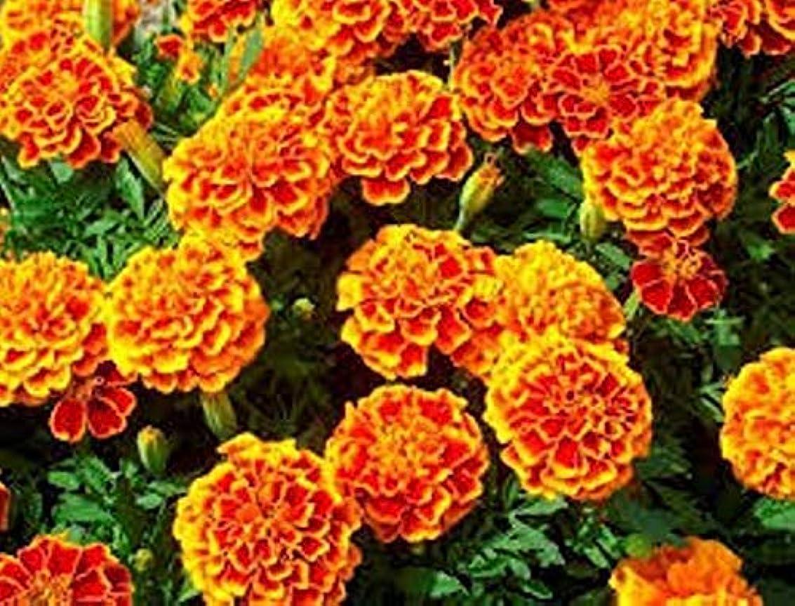 社会物足りないアメリカPortal Cool 900 Lemon Basil Seed Plant Aromatic Plant Grass Aromatic