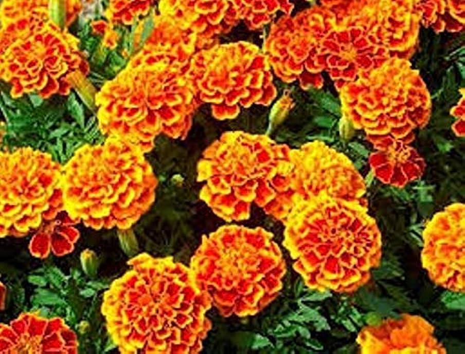 絶え間ない証拠手数料Portal Cool 900 Lemon Basil Seed Plant Aromatic Plant Grass Aromatic