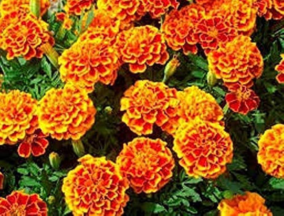 心から依存するランダムPortal Cool 900 Lemon Basil Seed Plant Aromatic Plant Grass Aromatic