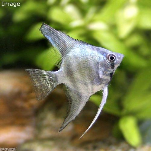 charm(チャーム) (熱帯魚) エンゼルフィッシュ ブルー(ヨーロッパブリード)(1匹) 【生体】