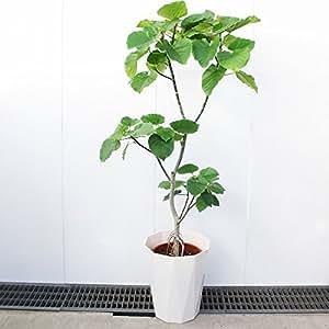 フィカス ウンベラータ ゴムの木 10号 観葉植物 インテリア 大型 オシャレ 大きい 尺鉢 大サイズ 本物