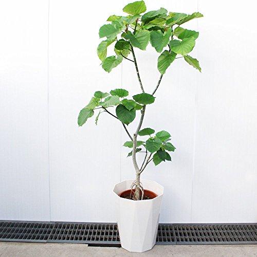 フィカス ウンベラータ ゴムの木 10号 観葉植物 インテリア 大型 オシャレ 大きい 尺鉢 大サイズ 本物 ウランベータ