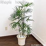 シュロチク 110cm~125cm 白陶器鉢+白鉢カバー 生花 観葉植物