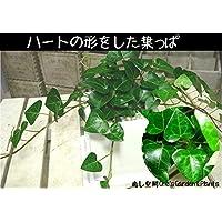 ハートアイビー ハート形の葉っぱ/ヘデラ・サーク 誕生日やお祝い・プレゼントや景品にも ミニ観葉植物サイズ モダン風アジアンテイスト 鉢植え