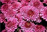 100本/袋家庭菜園3のグランドカバー菊種子、菊多年生盆栽花の種デイジー鉢植え
