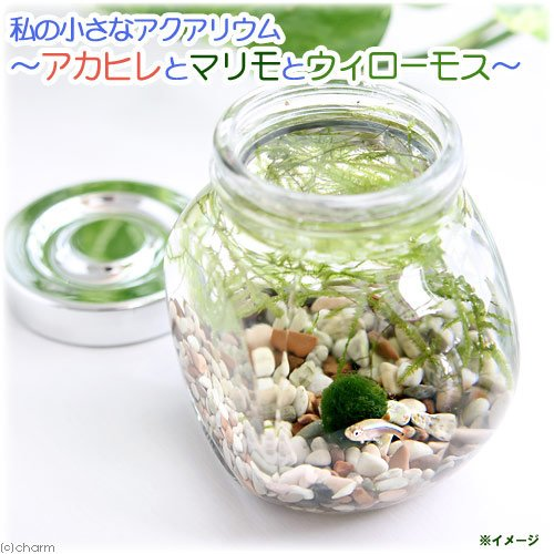 (熱帯魚 水草)私の小さなアクアリウム アカヒレボトルセット ~マリモとウィローモス~(1セット)説明書付 本州・四国限定[生体]