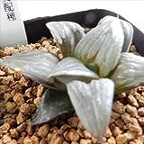 niハオルチア 大魔神交配種 K A 多肉植物 7.5cmポット