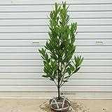 庭木:月桂樹(げっけいじゅ)ローリエ 樹高120cm