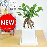 LAND PLANTS 【観葉植物】 ガジュマル (スクエア陶器鉢 Sサイズ)