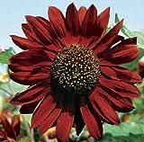 種子パッケージ:ムーラン・ルージュGorgerous RedProfessionalパック15種