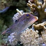 (海水魚 フグ)インドパシフィックトビー(1匹) 本州・四国限定[生体]