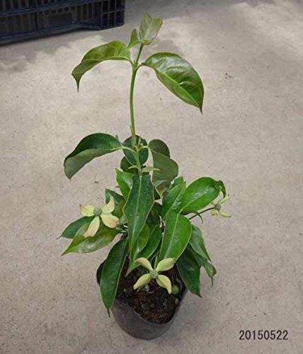 常緑ヤマボウシ:ホンコンエンシス月光3.5号ポット ノーブランド品