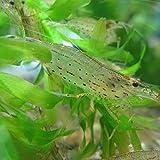 【生体】ヤマトヌマエビ 30匹 エビ 飼育用・餌用にも