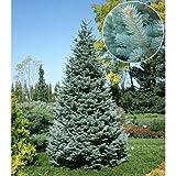 アルプスモミ:アリゾニカ コンパクタ7号ポット樹高25cm ノーブランド品