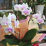 胡蝶蘭 鉢植え ミディ 3本立て(生花)珍しい色の花 誕生日プレゼント お祝い 花 ギフト 蘭(ラン)の花