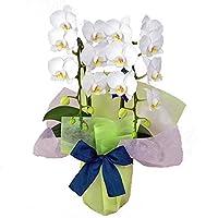 特選ミディ胡蝶蘭 2本立ち 白色 アマビリス 4号陶器鉢