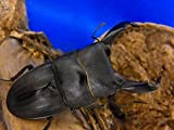 スジブトヒラタクワガタ成虫ペア+クワガタ産卵用マット10L1袋付。