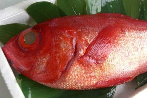 FCSJapan 最高級 静岡稲取産天然生金目鯛(斤目鯛)1尾 1.1~1.6kg