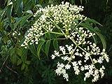 【種子】Azadirachta indica★インドセンダン/ミラクルニーム 虫除◆5粒♪ [並行輸入品]