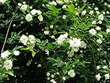 【バラ苗】 モッコウバラ(白花) 樹高30cm 白色の花が咲くつる性バラ♪