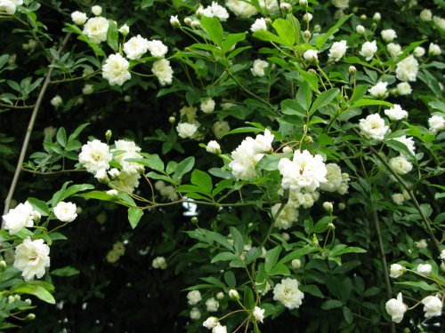 RoomClip商品情報 - 【バラ苗】 モッコウバラ(白花) 樹高30cm 白色の花が咲くつる性バラ♪