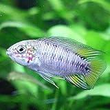 熱帯魚 アピストグラマ ボレリィ オパール [1Pr]【本州・四国限定】