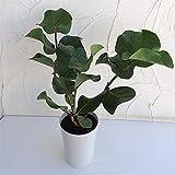 シーグレープ(ココロバ)6号鉢植え ノーブランド品