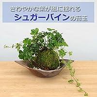 5枚に分かれた葉がスタイリッシュ【シュガーバインの苔玉・焼締茶器セット】 (敷石の色(白))
